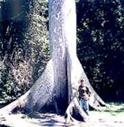 Tikal-TreeGreg2.jpg (8131 bytes)